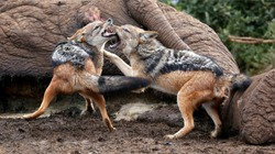 Two black backed jackals fighting over the carcass of a dead elephant