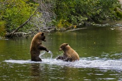 Two Black Bear Cubs Playing