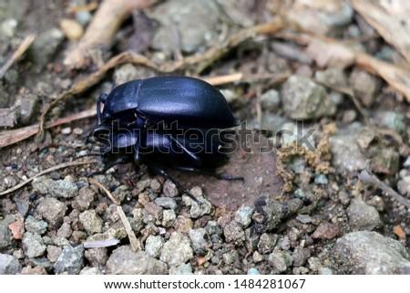 two black beetles, beetles ground #1484281067