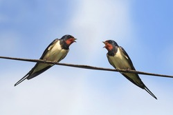 two black birds swallows sitting on wires on blue sky background