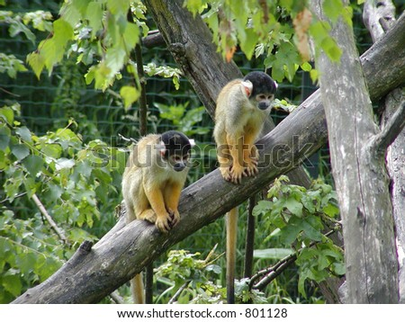 Two Black Monkeys Two Black Capped Squirrel