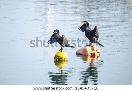 Two black cormorants sits on orange and yellow buoy. Dark waterfowl in sea. Big bird with spread wings and dark gray plumage. Blue clear water. Reflections in water surface. Sunny day. Selective focus #1545433718