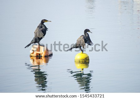 Two black cormorants sits on orange and yellow buoy. Dark waterfowl in sea. Big bird with spread wings and dark gray plumage. Blue clear water. Reflections in water surface. Sunny day. Selective focus #1545433721