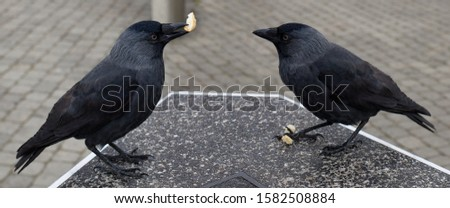 Two black crows stand opposite each other on a dark gray concrete surface and share a piece of white bread #1582508884