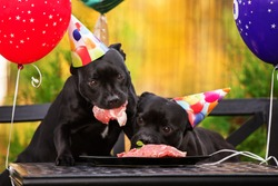 two black dogs in birthday hats eating meat at the table