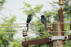 two Black Drongo bird with two tails sitting on electric line or electric post on the morning