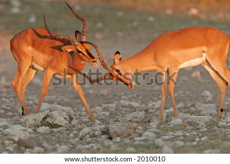 Two black-faced impalas (Aepyceros melampus petersi), fighting, Etosha National Park, Namibia