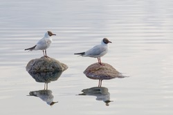 Two black headed gull standing on stones in the water and reflecting in the water surface