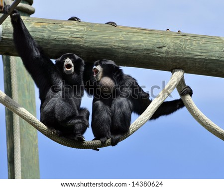 Two Black Monkeys Two Black Howler Monkeys