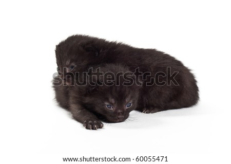 two black kitten in studio