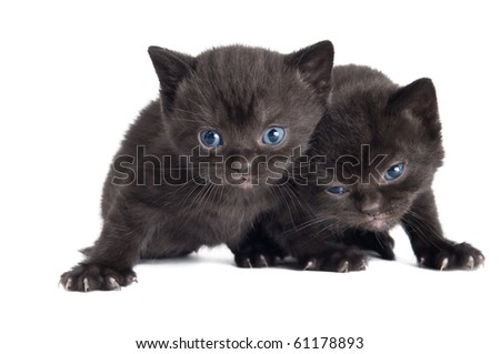 Two black little sitting (lying) british shorthair kittens cat isolated