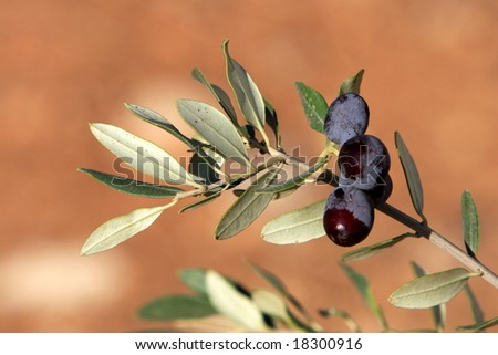 Two Black Olives on a Branch