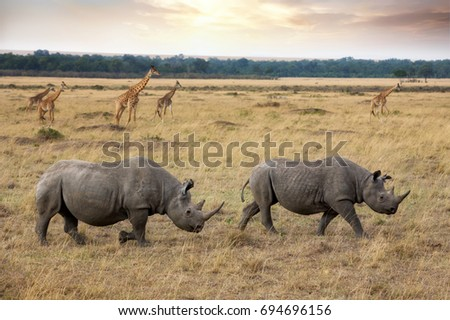 Two black rhinos and a herd of giraffes in the Masai Mara, Kanya. The black rhinoceros is critically endangered and at risk of extinction.