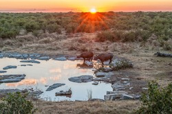 Two black rhinos, Diceros bicornis, at a waterhole with the sun setting behind them