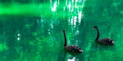Two black swan in a pond with green water. Big birds, Cygnus atratus. Couple, love, romance and fidelity concept
