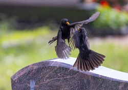 Two blackbirds argue in the air over a tombstone in southern Germany