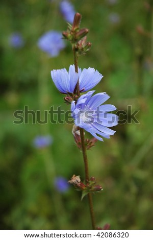 Two blooming chicory flowers on the meadow