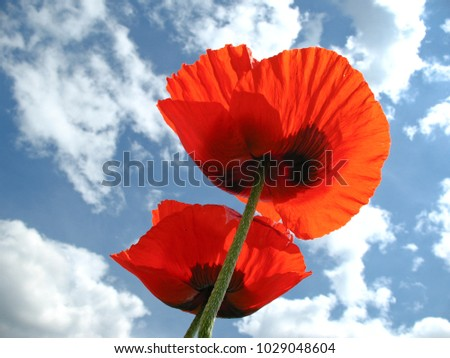 Two blooming red poppies facing blue sky with white clouds. Fresh wind, sunshine and happy summer mood. Cooperation, inspiration, hope for the best and success associations, bottom view.