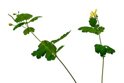 Two blooming stems of greater celandine isolated on white background. Raster clipart of a healing plant. Herbal medicine concept