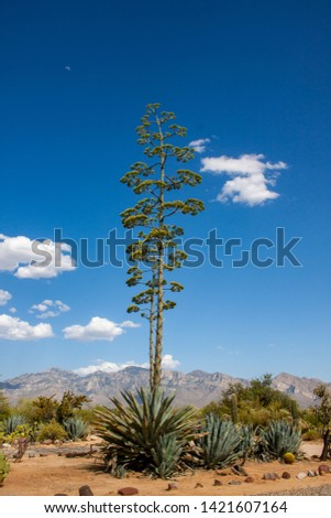 Two blue agave cactus plants blooming near Tucson, Arizona with the Santa Catalina Mountains in the background and you can see the moon in the sky as well.