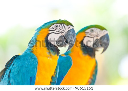 Two Blue and Yellow Macaw