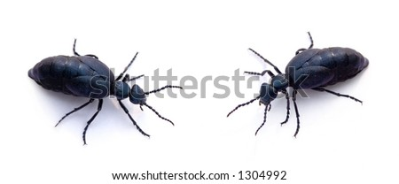 Two blue beetles on a white background (oil beetle - Meloidae) - stock photo