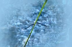 Two blue damselflies on a green stem, hovering over swamp water at Lake Herbert in Alberta, Canada.