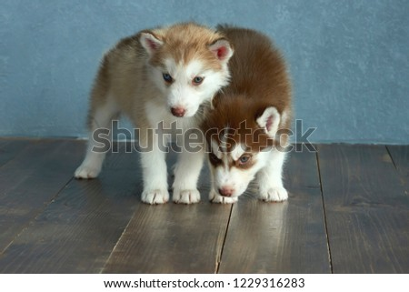 Free Photos Two Puppies Of Siberian Husky On A Brown Background In