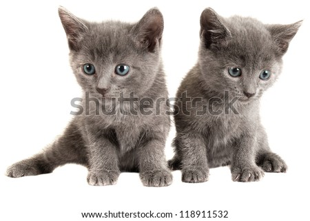 Two Blue Eyed Gray Kittens on White Background