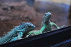 Two blue lizards or iguanas are sitting next to the glass of terrarium.