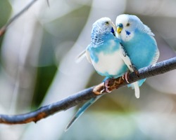 Two blue parakeets perched in a tree.