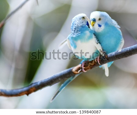 Stock Photo Two blue parakeets perched in a tree.