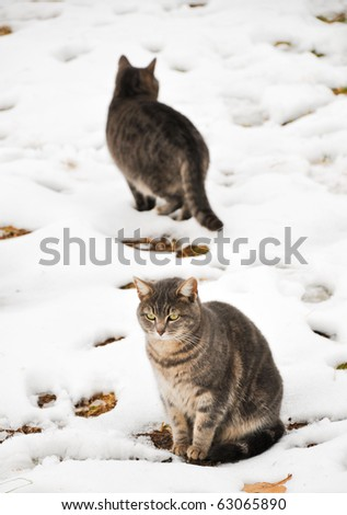 Two blue tabbies in snow on a damp cold winter day