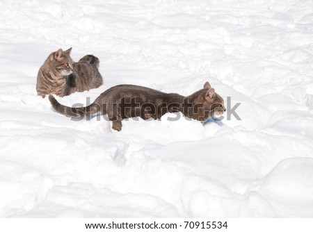 Two blue tabby cats in deep snow on a cold sunny winter day