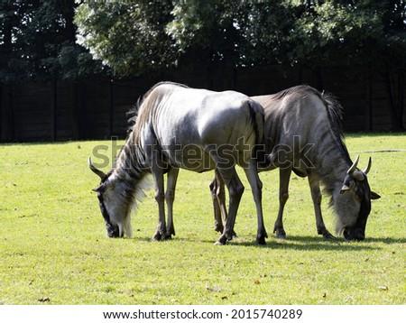 Two Blue Wildebeest, Connochaetes taurinus, graze on grass Stock photo ©