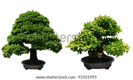 two bonsai trees against sunny