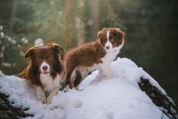 Two border collie dogs adult and puppy in winter forest on snow