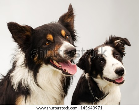 two border-collies in studio