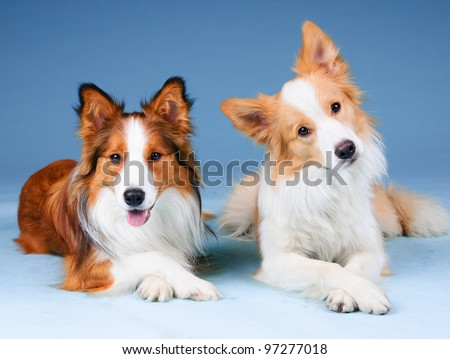 Two border collies in studio, training dogs