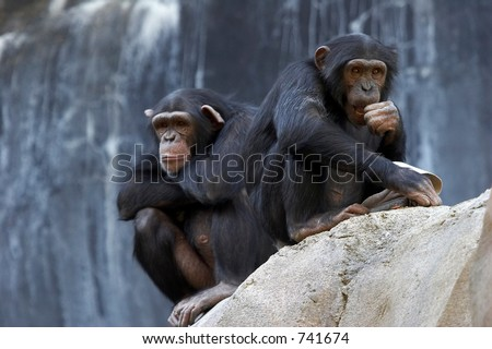Two bored adult chimpanzees sitting on a cliff