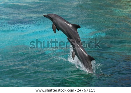 Two bottle-nose dolphins jumping in clear blue water