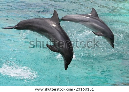 Two bottlenose dolphins jumping out of the sea water