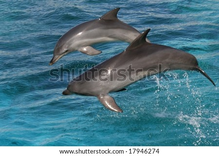 Two bottlenose dolphins leaping out of the blue water