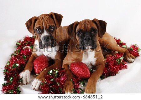 Two Boxer Puppies Posing with Christmas Decorations.