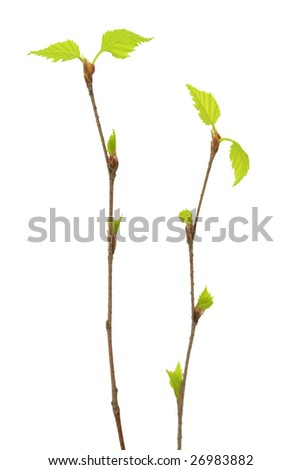 Two branches of a birch.