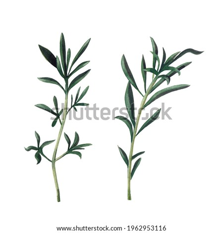 Two branches of santoreggia isolated on white background.  Watercolor hand drawn illustration. Zdjęcia stock ©