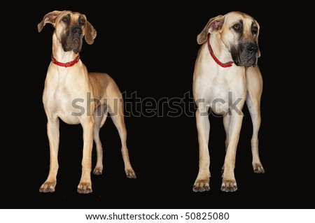 Two Brazilian mastiffs (Fila brasileiro) standing side by side, front view