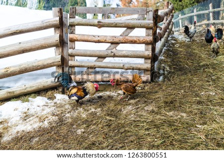 Two bright, colorful, warlike rooster fighting in the barnyard near the wooden fence in the village, farm, Ukraine