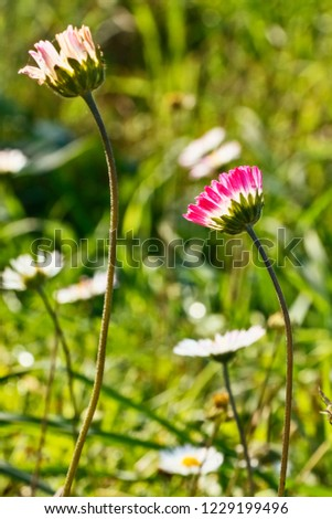 Two bright  daisies  in a sunny meadow , funny white petals almost closed  towards the sun , the background is green and out of focus , saturated colors , #1229199496