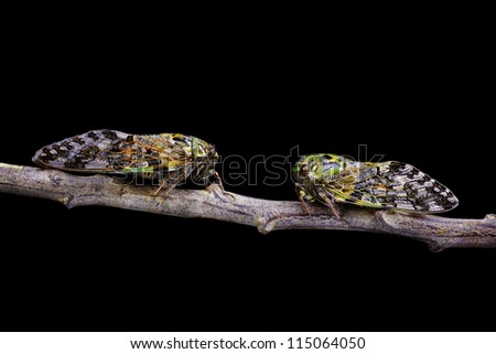 Two Bright Green and Yellow Cicadas on a tree branch Isolated on Black